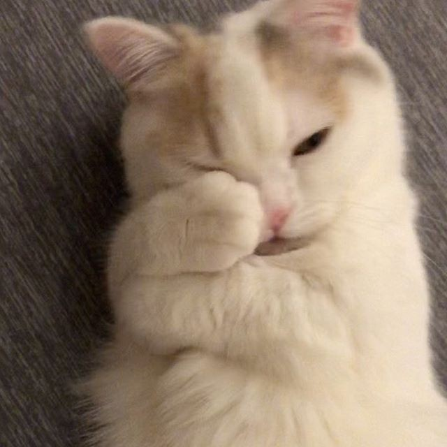 """サムネイル ぎゅ〜からの舌ペロに猫好きが悶絶 甘えん坊ミヌエットの""""眠い""""のサイン"""