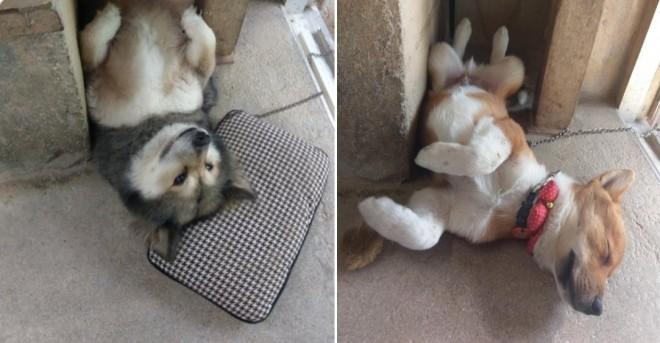 先代犬チャッピー(左)と先代犬がなくなった後に現れた仔犬のゴン(右)。2匹とも同じ場所で眠るという(画像提供:@inukuma3)