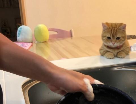 「洗い物が苦にならぬ」家事を見守る猫に60万いいね、これは天使だにゃ