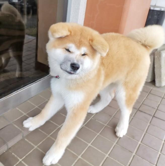 """サムネイル 秋田犬保存会のSNSが人々の癒しに、「おはようございもふ」とみんなを迎えるわんこが""""天使のよう""""と反響"""