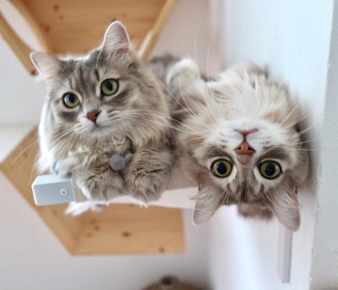 サムネイル 「あっ、落ちた!」妹を助けようとする兄猫に反響 効果音&落下音でかわいさも倍増