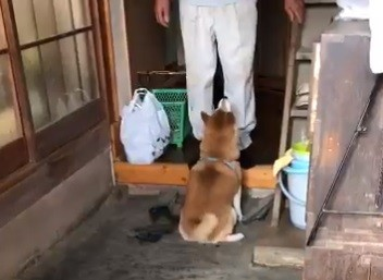 """「娘の帰宅より""""犬""""が来てくれた方がうれしい」家族の本音がぽろり、再会の喜びあふれる柴犬の帰省に反響"""