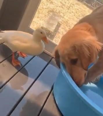 お気に入りに水浴び場を占領してしまい、アヒルから鋭い視線を送られる、犬のぽてとくん