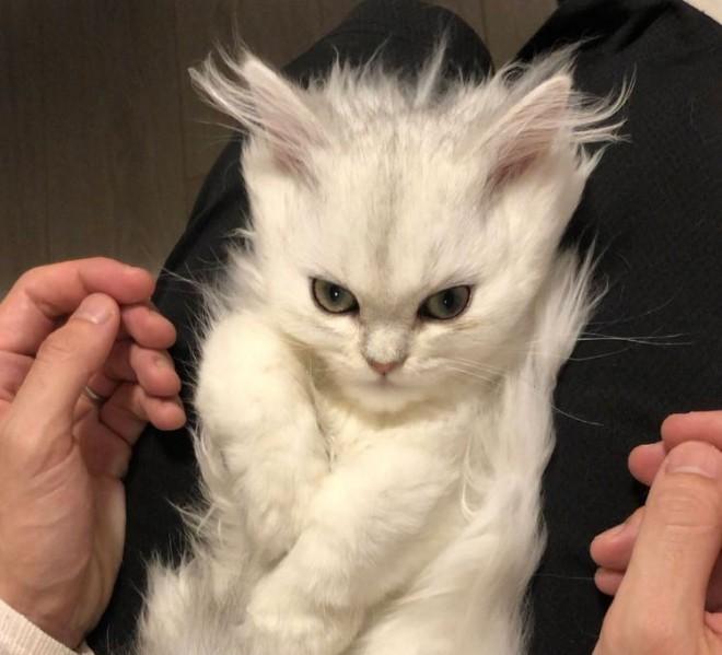 """サムネイル 「誰かスカウターで戦闘力計測して」SNSで話題になった""""スーパーサイヤ猫"""" かわいさの裏にあった現代猫の悲しい出会い"""