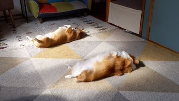 へそ天ポーズで、お腹に日の光を当てて眠っているコーギー兄妹