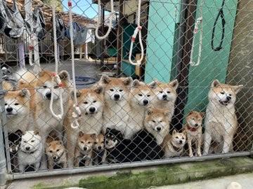 もふもふがギュギュっと集まり…訪れる人々をお出迎えする秋田犬と豆柴(画像提供:薩摩日登美犬舎)