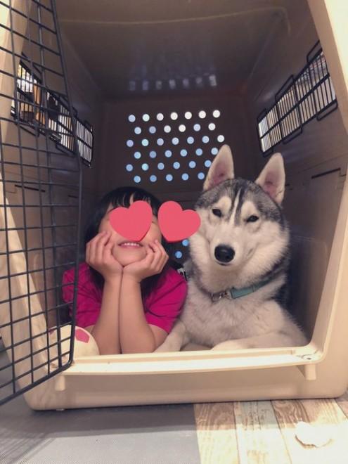 ハスキー犬のサファイアくんと6歳の娘さん(画像提供:@SAPPHIRE_HUSKY)