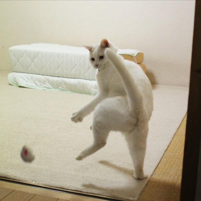 サムネイル ほれぼれする躍動感、全身で感情を表現する白猫に「どじょうすくい?」「もはや人」