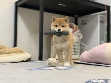 """おもちゃで遊んでいたら、禰豆子ならぬ""""むぎこ""""になった柴犬の仔犬・こむぎちゃん(画像提供:@shiba_kinako_o)"""