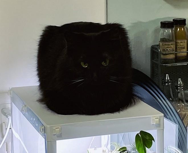 """サムネイル リアル""""トムジェリ""""? ロシアの帽子? 四角い黒猫にフォロワー困惑…謎フォルムの真相とは"""