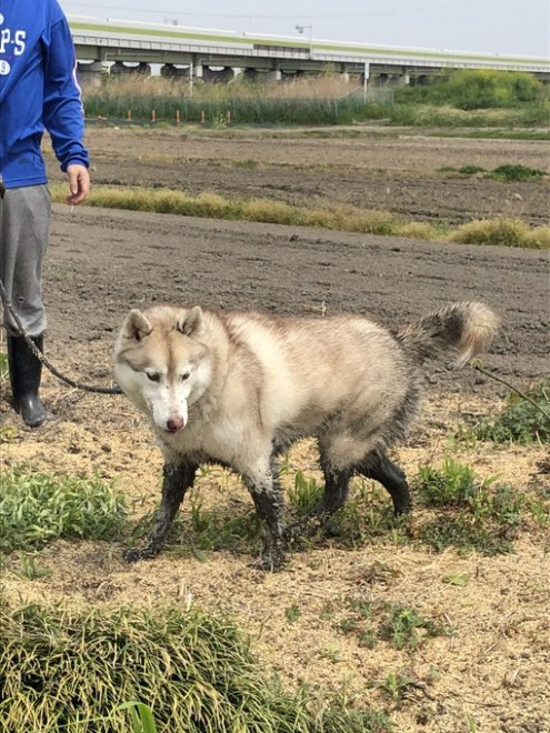 """サムネイル 水が大好きすぎてドブに飛び込み…""""シベリアンタヌキ—""""になった犬「マジで一瞬タヌキに見えたw」"""