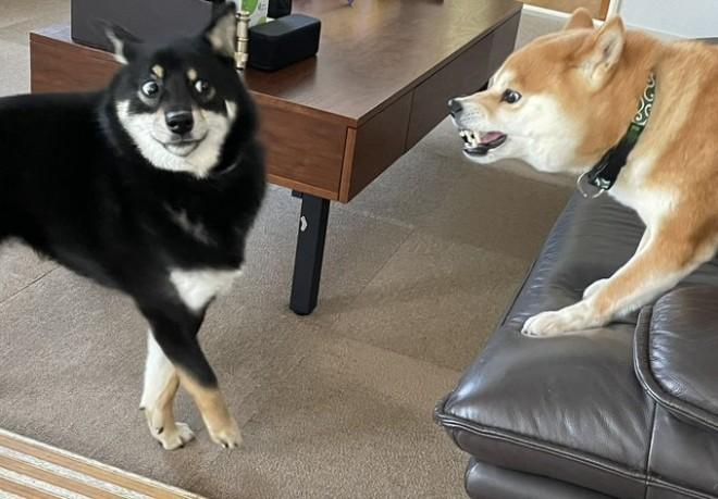 「この顔である」飼い主さんの実家で飼われていた先輩犬に怒られ、後ずさりする黒柴犬のつぶらちゃん(画像提供:@yurayura0105)
