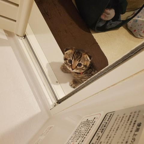 """お風呂を覗いてくるスコティッシュ猫の""""上目遣い""""に「かわいさの破壊力」「尊すぎる」"""