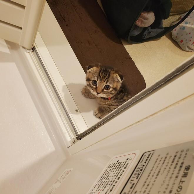 """サムネイル お風呂を覗いてくるスコティッシュ猫の""""上目遣い""""に「かわいさの破壊力」「尊すぎる」"""