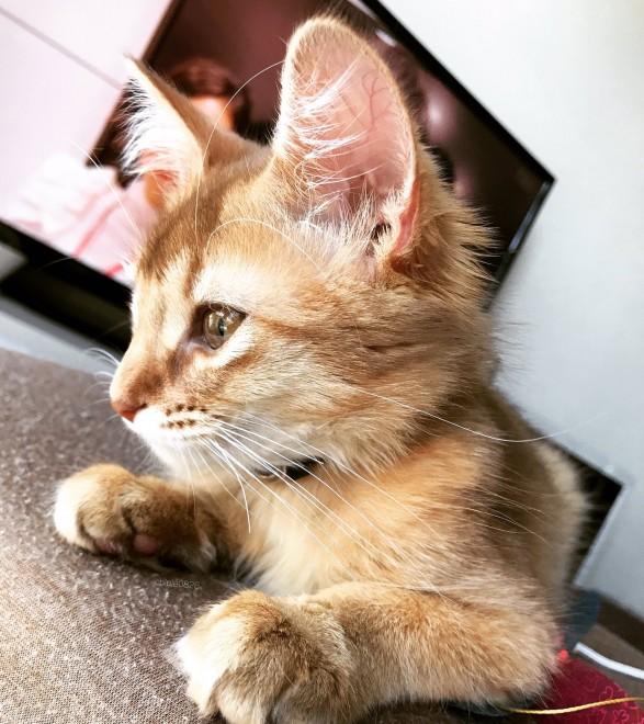 サムネイル 『懐かないからいらない。あげる』ソマリの子猫との衝撃的な出会いに「買うと飼うは全然違う」「幸せを願っています」
