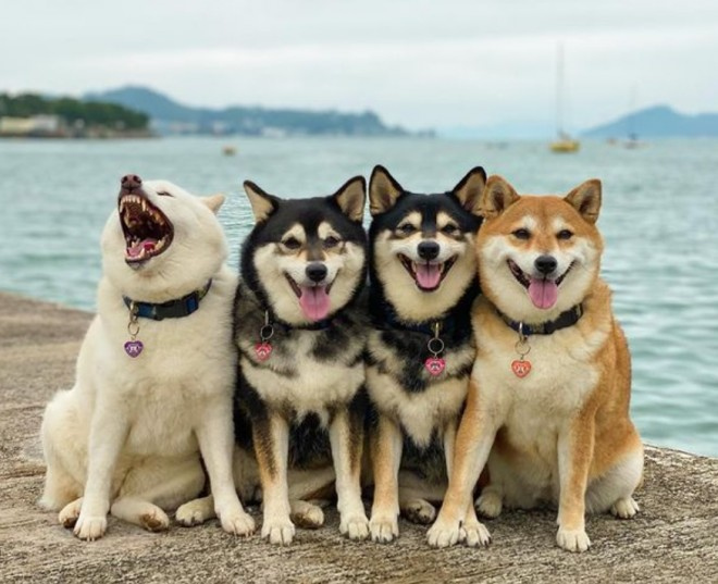 おすまし顔の姐さんたちをよそに…左端の白柴だけ我が道を行く? 柴犬4姉妹
