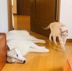 猫パンチ繰り出される数秒前? 攻防戦が続く…犬と猫の関係性(画像提供:かもしかさん)