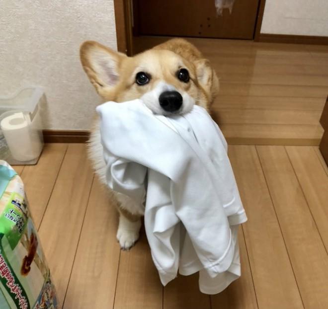 「これ、持ってきました」ドヤ顔でお父さんのTシャツを洗濯場所もってくるベルちゃん(画像提供:@BELL_1030)