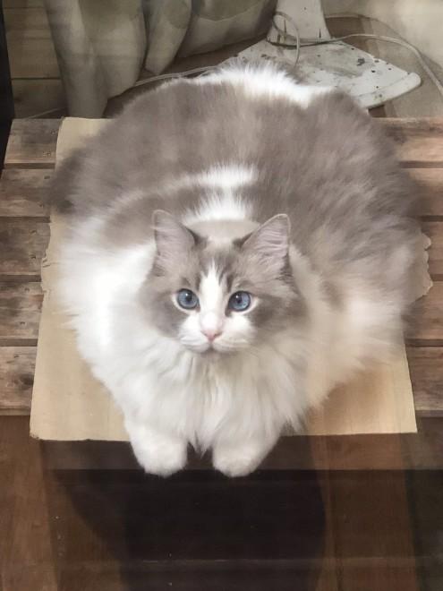 サムネイル 8.3キロの愛猫が溶けだした? 衝撃画像に「ラグドールは液体」「ほんまに溶けてる!」と17万いいね