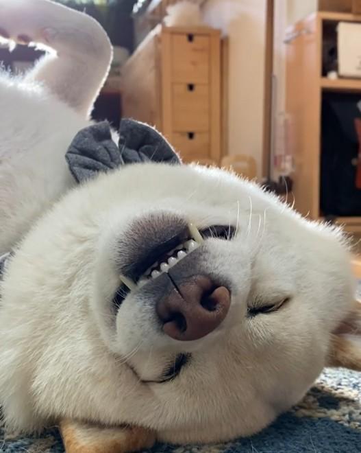"""サムネイル 「ワンちゃんの眠り方じゃない」独特の姿勢でゴロリ…、""""笑いが止まらなくなった""""白柴犬の寝姿"""