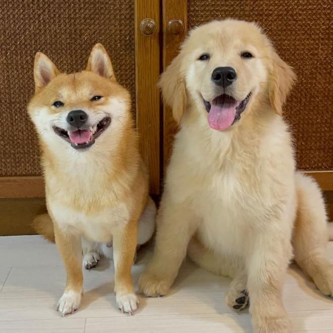 笑顔で佇む犬兄妹、柴犬うにくんとゴールデンレトリバーおからちゃん