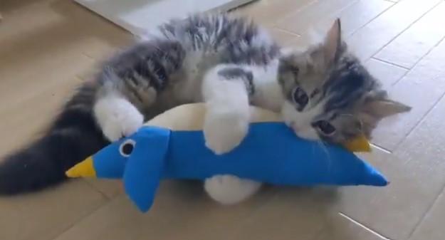 サムネイル 「昨日の夜に何があった?」無関心だったおもちゃに急に夢中になる子猫がかわいすぎ