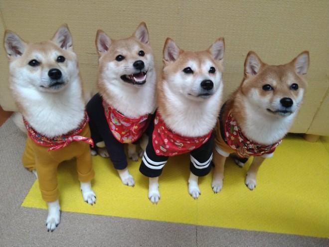 「待て」が上手にできている柴犬たち(画像提供:@serendipity_204)